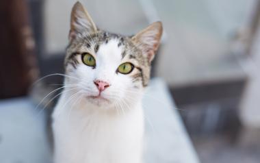 Benidorm desarrolla una campaña de esterilización de gatos